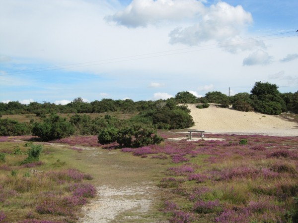 View of Westleton Common showing footpath, heather, seat, gorse and sandbank.